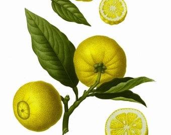 antique french botanical prints lemons illustration digital download