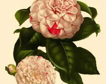 antique french botanical print pink and white camellia japonica illustration digital download