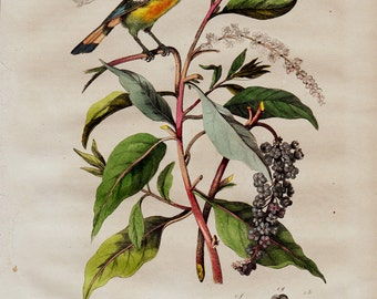 1838 Antique lovely print of birds, countryside flora and fauna, songbirds, original antique 179 years old