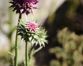 Thistles and Bumble Bees, Purple, Colorado Mountainside, Save the Bees, Olive Green, Margaret Dukeman Photography, Fine Art Photography