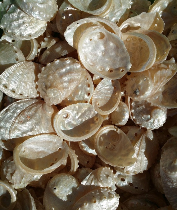 Pearl Abalone Shells Small 1 2 Inches Bulk Crafting