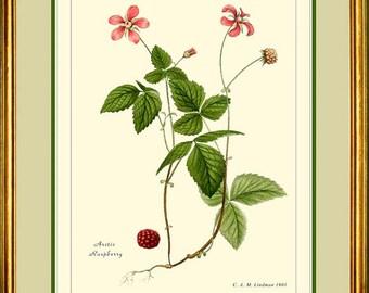 ARCTIC RASPBERRY - Botanical print reproduction -   310