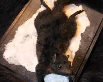 Snowy Melanistic Black Squirrel Taxidermy Mount- Oddity Curio Habitat