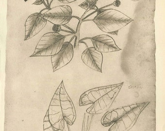Sketch Drawing of a Native Plant of Maranhao Brazil, Vintage Botanical Print