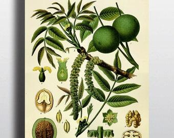 Antique Walnut Print Botanical Print Antique Print Illustration Vintage Prints Science Chart Plants Nature Prints 8x10 11x14 16x20