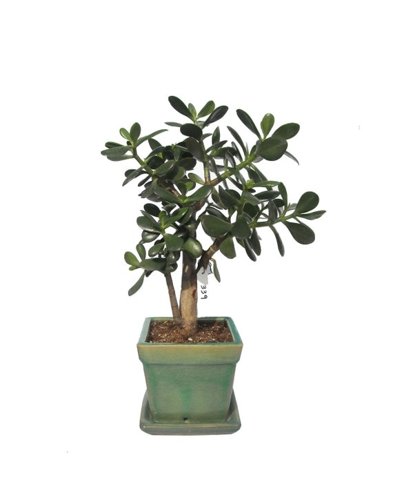 usine jade crassula ovata floraison 10 ans 25 grande plante. Black Bedroom Furniture Sets. Home Design Ideas