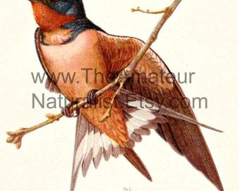 Vintage Bird Illustration, Barn Swallow, Antique Print, Digital Download