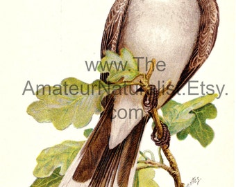 Vintage Bird Illustration, Kingbird, Antique Print, Digital Download