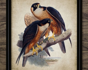Falcon Print - Falcon Bird Of Prey Illustration - Falconry Bird Decor - Digital Art - Printable Art - Single Print #227 - INSTANT DOWNLOAD