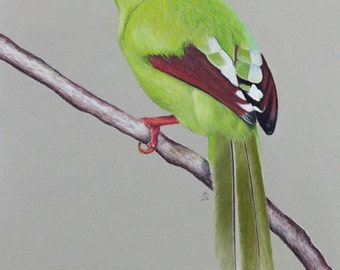 "Original pastel drawing ""Common green magpie"""