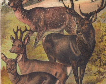 1880 Antique Print Red Stag Deer with Other Types of Deer Wildlife Animal Lithograph