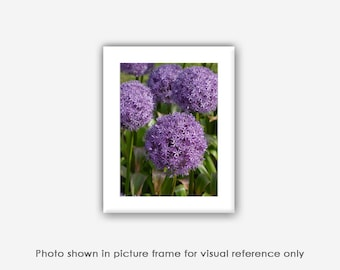 Flower Photography, Purple Alliums, Pom Pom Flowers, Photographs, Prints, Spring Blank Photo Greeting Cards, Note Cards, Photo Magnet