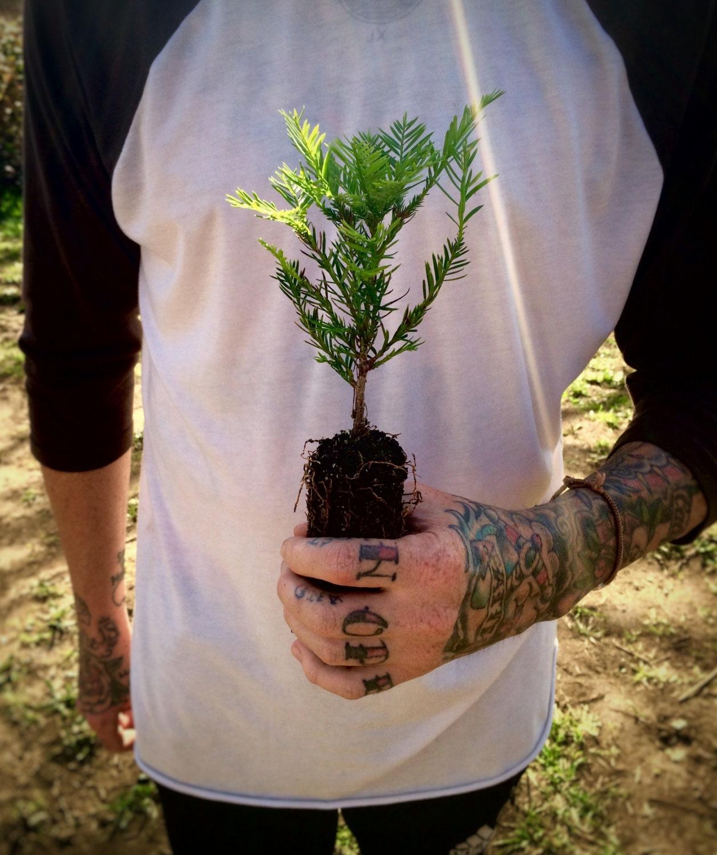 Coast Redwood Live Tree Seedling The Jonsteen Company