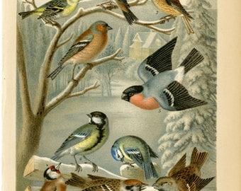 1894 Antique Bird Print - Winter Song Birds - Finches, Siskin, Sparrows, Wall Art, Christmas Gift Idea for Bird Lover
