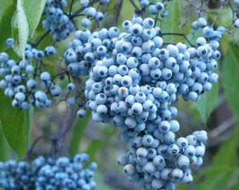 Sambucus Cerulea - 50 Seeds - Blue Elderberry