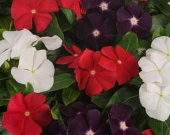 25 Vinca Seeds Vinca Jams & Jellies American Pie Mix
