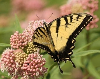 tiger, swallowtail, butterfly, butterflies, insects, Missouri, milkweed, wall art, home decor, nature photography, free shipping, print
