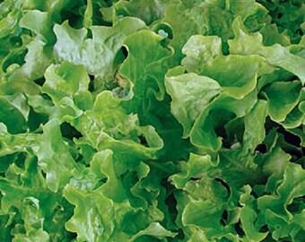 Organic Heirloom Green Salad Bowl Lettuce 100+ Seeds oakleaf shape! loose leaf  Crisp and tender with a sweet flavor. 2015 seeds