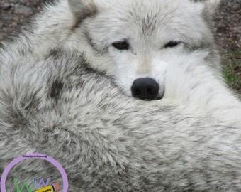 Wildlife (Yellowstone)