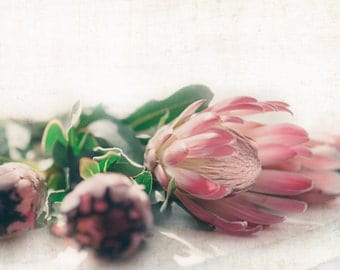 Fine Art Floral Photography - Pink Protea, Home Decor, Still life, Large Wall Decor, Romantic home decor, Nature photography
