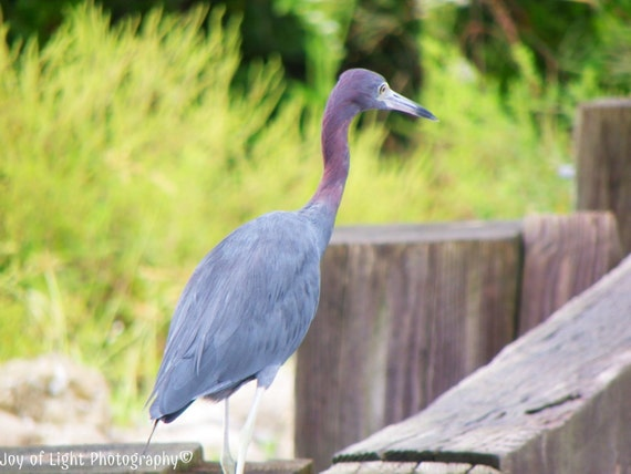 Little Blue Heron Photograph, Bird Photograph, Nature Photograph, Beach photography, summer, blue, bird photograph,5501(2)