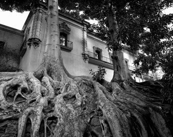 Old Ficus Tree