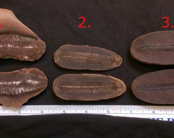 1 Pair of plant fossils AB3