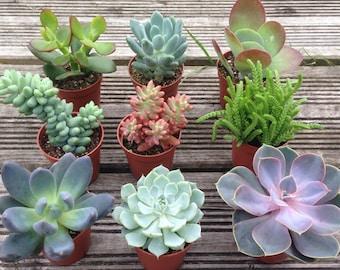 """Set of 3 Mixed Succulent Plants in 5.5cm (2.5"""") Pots. House Plants. Living Walls. Terrariums. Wedding Favours. Fairy Gardens"""