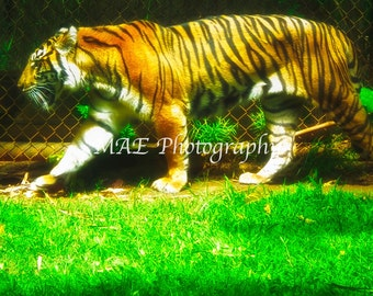 Fierce Prints - Photography - Tiger - Nature - Wildlife - Animal Photography