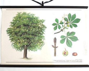 School Chart chestnut tree. Vintage Chestnut Pull Down Chart. Botanical tree print.  #641GA0AK3B