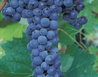 2 Frontenac - Grape Plant/Vine - Blue Black Wine - Fall Shipping