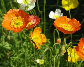 Iceland Poppy Flower Seeds/Papaver Nudicaule/Annual   100+