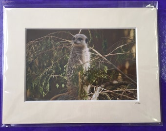 Mounted Meerkat Photo