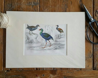 Water bird lithograph 1855