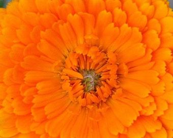 Calendula  Pot Marigold Seeds