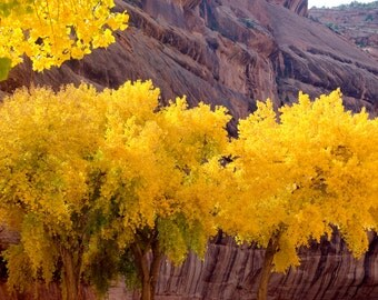 Aspens in Arizona Canyon  beautiful fall colors Museum Quality Fine Art paper or Kodak Endura Lustre