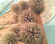 Thistle globes dried billy balls greenery rustic arrangement flower bouquet herb bundle grass natural materials green bunch wild