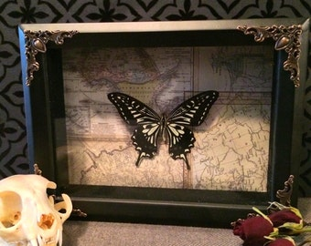Real Chinese Yellow Swallowtail Butterfly Shadow Box, Taxidermy, Real Butterfly, Framed Butterfly, Victorian, Gothic, Memento Mori, Got