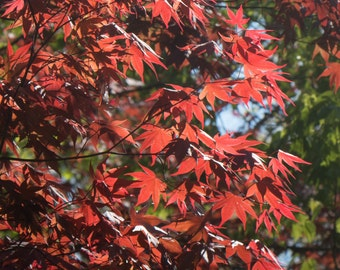 Red and Green Leaves of Spring