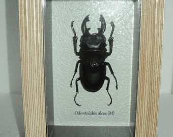 Odontolabis alces (M) exotic insects in the frame !