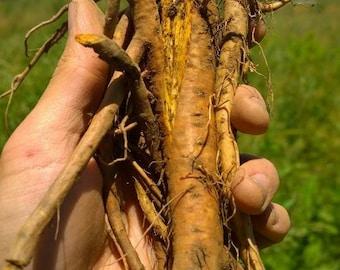 De-Tox Herbs: Yellow Dock Tincture