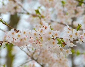 Home Decor Cherry Blossom Nature Photography