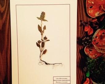 Herbarium Prunella vulgaris
