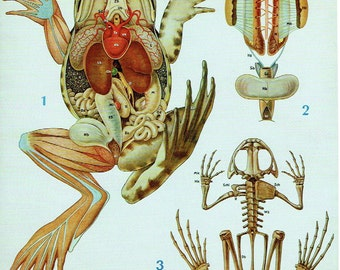 Old school 1990 birds Anatomy and skeleton of the frog zoology poster; 21 x 29cm apprx / 8.26 x 11,41 inches + or -.