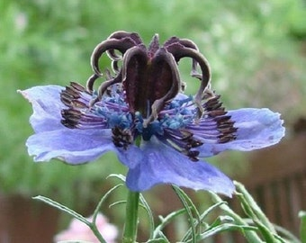 50+ Nigella Midnight Blue Love in the Mist