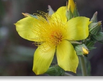 50+ Mentzelia Lindley's Blazing Star / Self-Seeding Annual Flower Seeds
