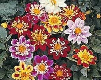 30+ Dahlia Collarette Dandy Bi-color Mix / Annual Flower Seeds