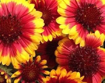 30+ Gaillardia Arizona Sun Bi-Color / Perennial Flower Seeds
