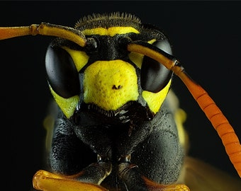 Macro photography of wasp anface.