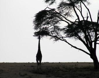 Giraffe Silhouette Photograph